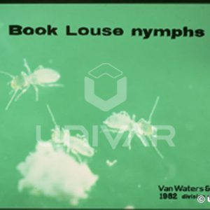 Book Louse Nymphs
