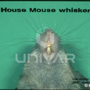 House Mouse Whiskers