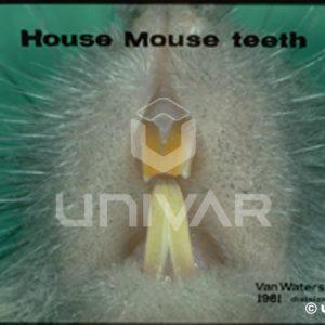House Mouse Teeth