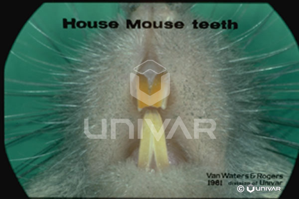Mouse Teeth