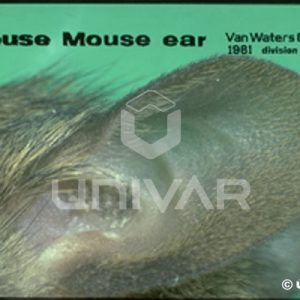 House Mouse Ear