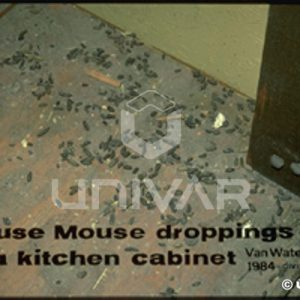 House Mouse Droppings