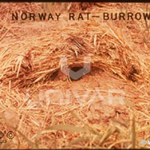 Norway Rat Burrow