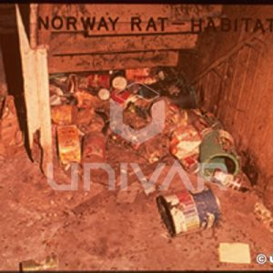 Norway Rat Habitat