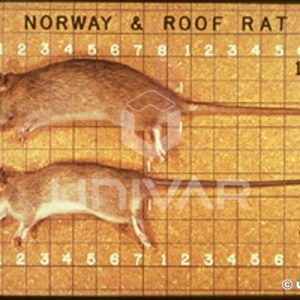 Norway & Roof Rat