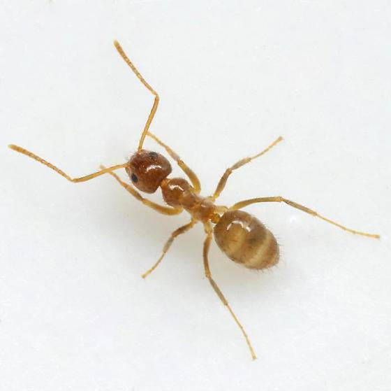 Crazy Ant photo by Mike Qunn, http://bugguide.net/node/view/330696