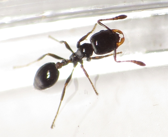 Little Black Ant photo by Ben Coulter, http://bugguide.net/node/view/XXX photo by XXX, http://bugguide.net/node/view/629611