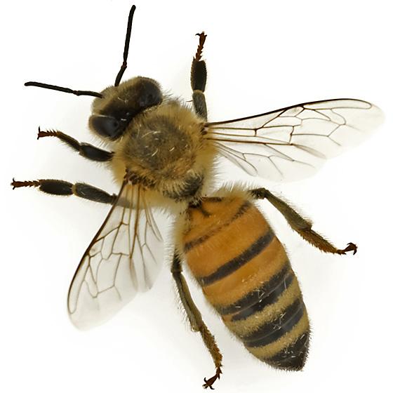 Honeybee photo by Gary R. McClellan, http://bugguide.net/node/view/603265