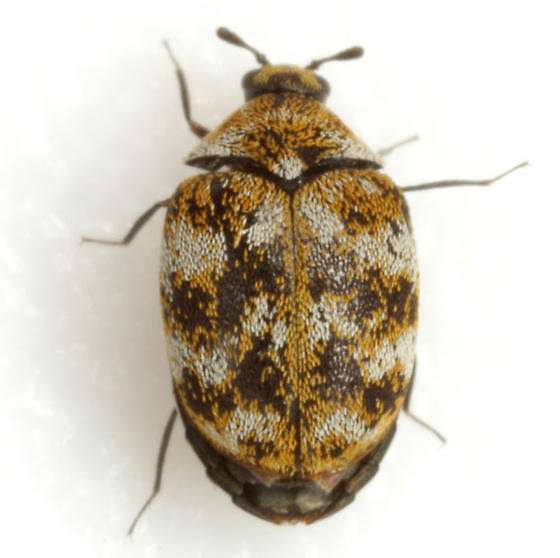 Carpet Beetle photo by Mike Quinn, http://bugguide.net/node/view/645782
