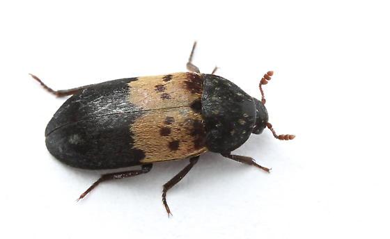 Larder Beetle photo by Brandon Woo, http://bugguide.net/node/view/936973
