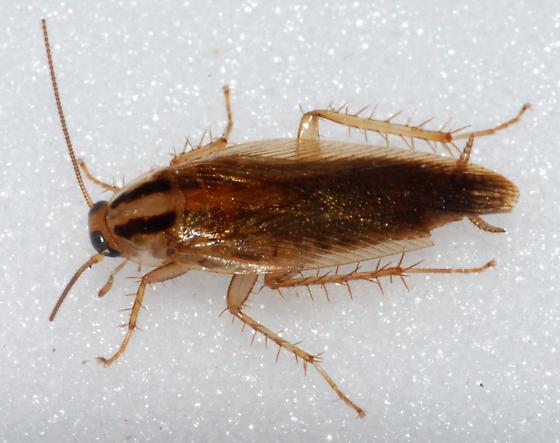 German Cockroach photo by Scott Nelson, http://bugguide.net/node/view/121385