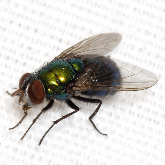 Blow Fly photo by Robert Lord Zimlich, http://bugguide.net/node/view/863164