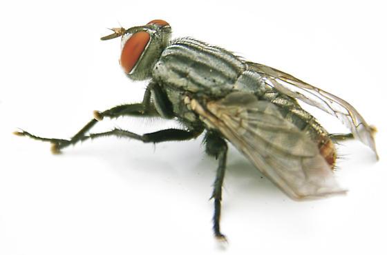 Fruit Fly photo by John Reche, http://bugguide.net/node/view/191138