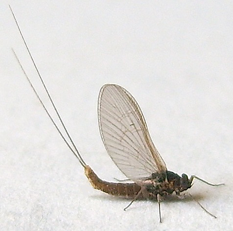 Mayfly photo by Jim Moore, http://bugguide.net/node/view/537840
