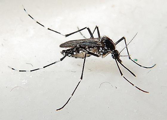Asian Tiger Mosquito photo by William Donald Newton, http://bugguide.net/node/view/843693