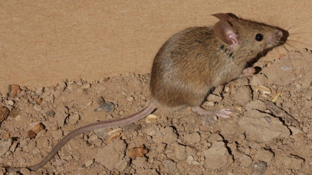 House Mouse photo by J. N. Stuart, https://flic.kr/p/6x47FE