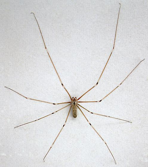 Cellar Spider photo by Jim Moore, http://bugguide.net/node/view/893973
